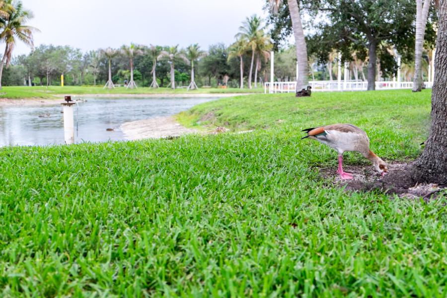 A duck eating next to the lake near the Arts Building. [Mohammed F Emran | Web Editor]