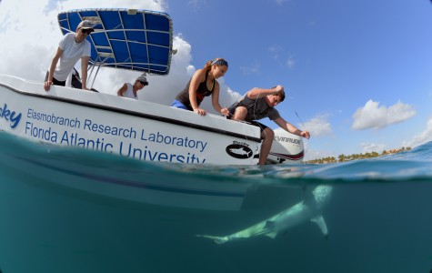 Graduate students research shark migration, how sharks perceive world