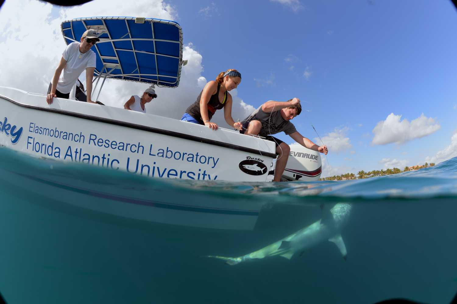 Students pull in a black-tip shark on their research boat off of the coast of Palm Beach County in 2015. Photo courtesy of biology professor Stephen Kajiura