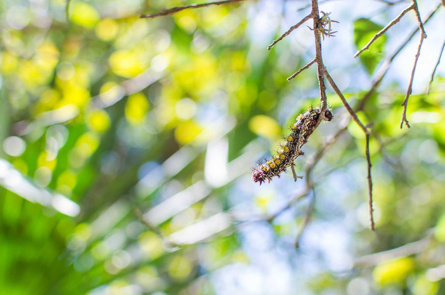 A caterpillar hanging of one of the trees in the canopied area of the Tortuga Nature Trail on campus.