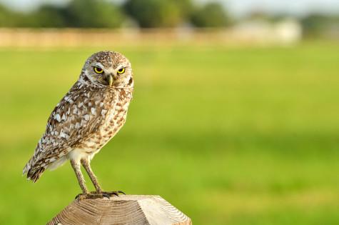 Burrowing Owl. Photo by Ryan Murphy