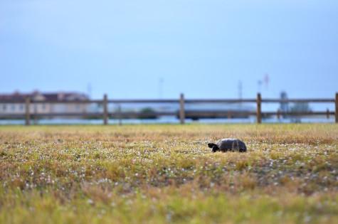 Gopher Tortoise. Photo by Ryan Murphy
