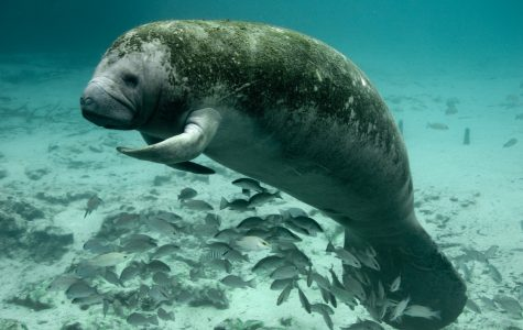 FAU researcher might have found solution to manatee boat collisions