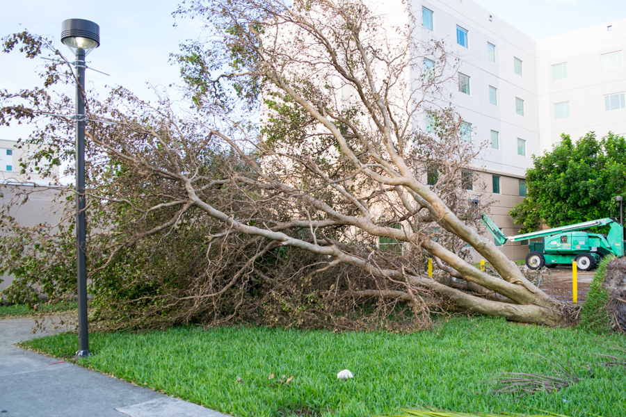 Ryan Lynch | Business Manager A tree lays downed near Glades Park Towers in the way of the path leading to the dumpsters.