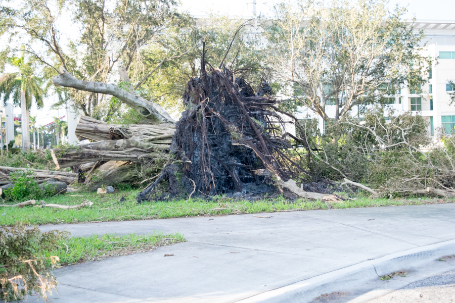 A tree outside the College of Medicine was uprooted during Irma onto a path leading to the building. It was later split into pieces following an inspection of campus. Ryan Lynch | Business Manager