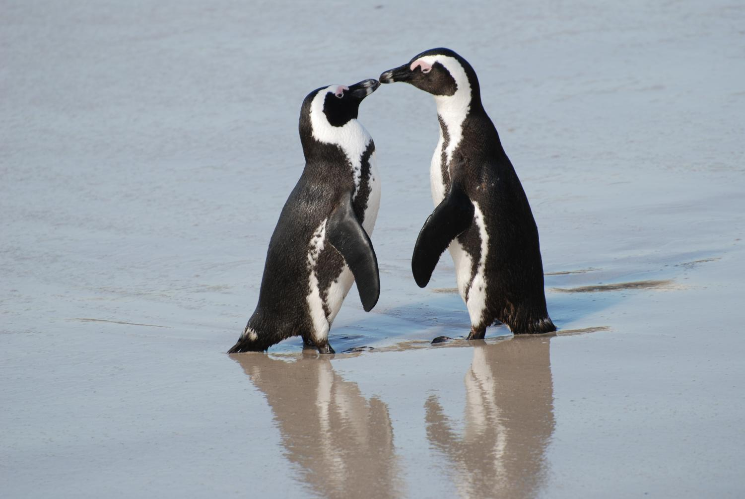 A pair of African penguins on a South African beach. Photo courtesy of Wikimedia Commons