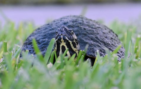 A peninsula cooter turtle prowls the ponds and grasses near the College of Nursing during evenings when nobody can disturb him. Anthony