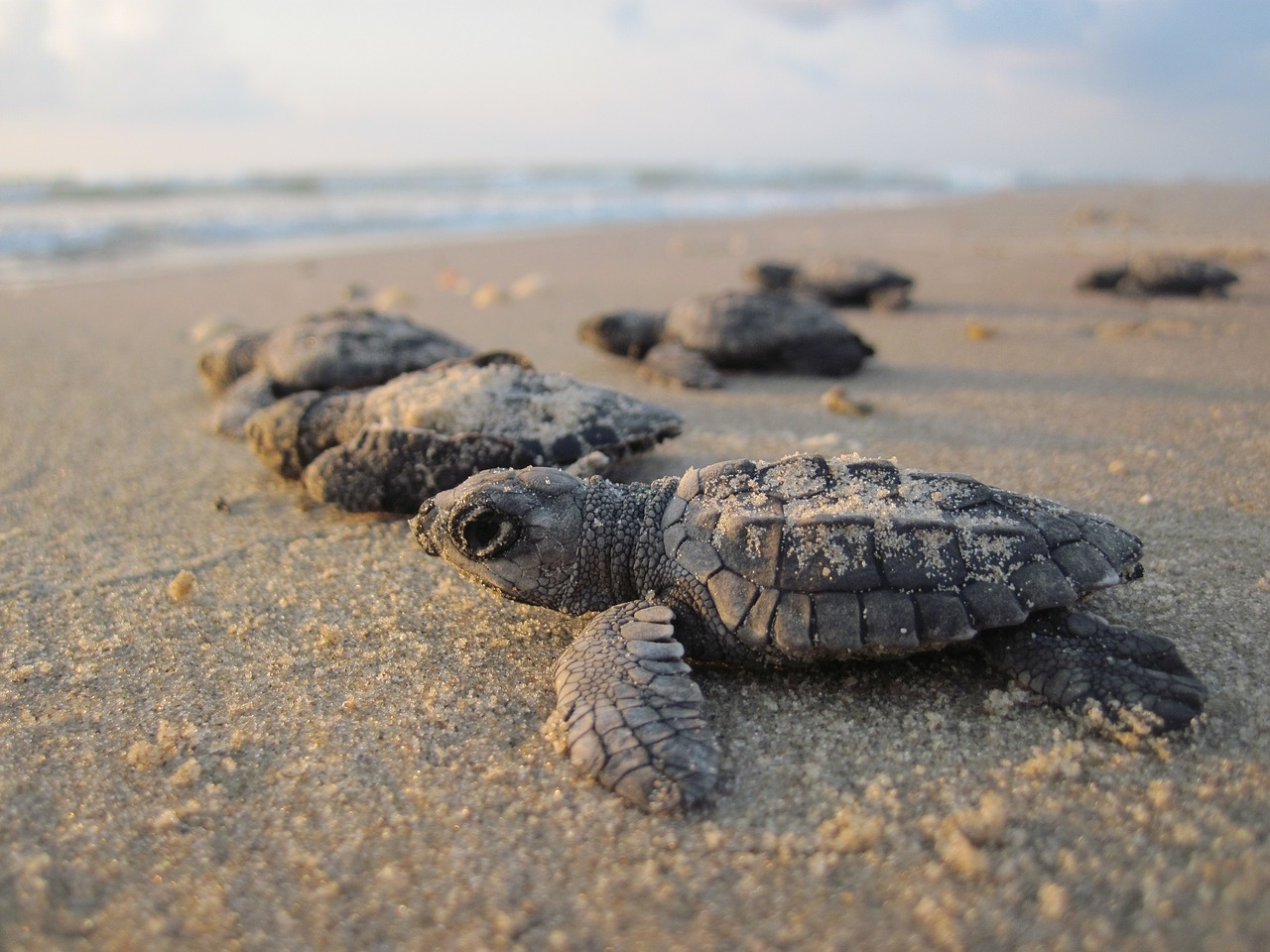 Loggerhead turtle hatchlings. Photo courtesy of Pixabay
