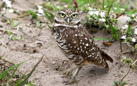 A burrowing owl stands in the open field near the FAU east Glades Road entrance. Joshua Giron | Photo Editor