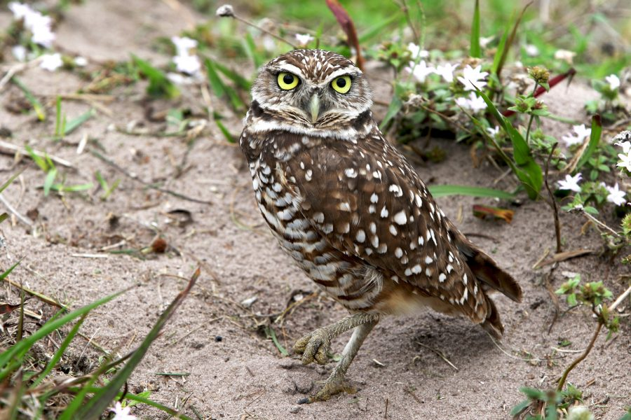 A+burrowing+owl+stands+in+the+open+field+near+the+FAU+east+Glades+Road+entrance.+Joshua+Giron+%7C+Photo+Editor