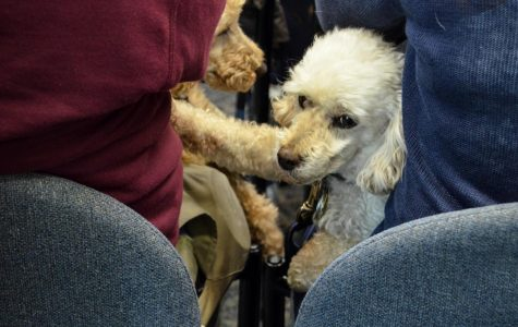 Two poodles sit with their owner at an FAU Boca campus town hall this morning featuring House Democratic leader Nancy Pelosi and U.S. Reps. Debbie Wasserman Schultz and Darren Soto. The three spoke as part of Pelosi's national tour criticizing Trump's recent tax changes. The event was held in the Student Union and hosted by the FAU College Democrats. Violet Castano | Staff Photographer