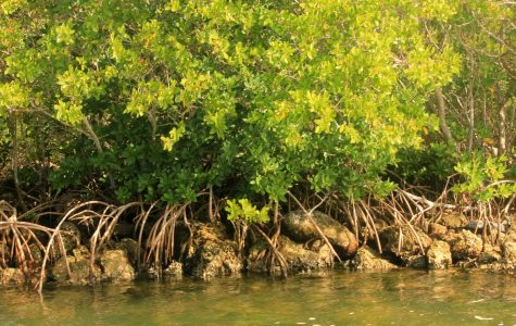 Mangrove roots feed into the water at Biscayne Bay National Park in Florida. Photo courtesy of Wikimedia Commons