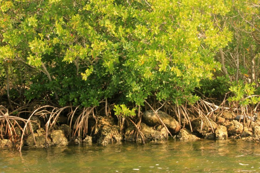 Mangrove+roots+feed+into+the+water+at+Biscayne+Bay+National+Park+in+Florida.+Photo+courtesy+of+Wikimedia+Commons+