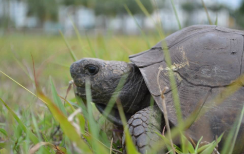 Gopher Tortoises provide shelter and resources for other species at FAU's nature preserve —but they are in danger. Photo courtesy of FAU.