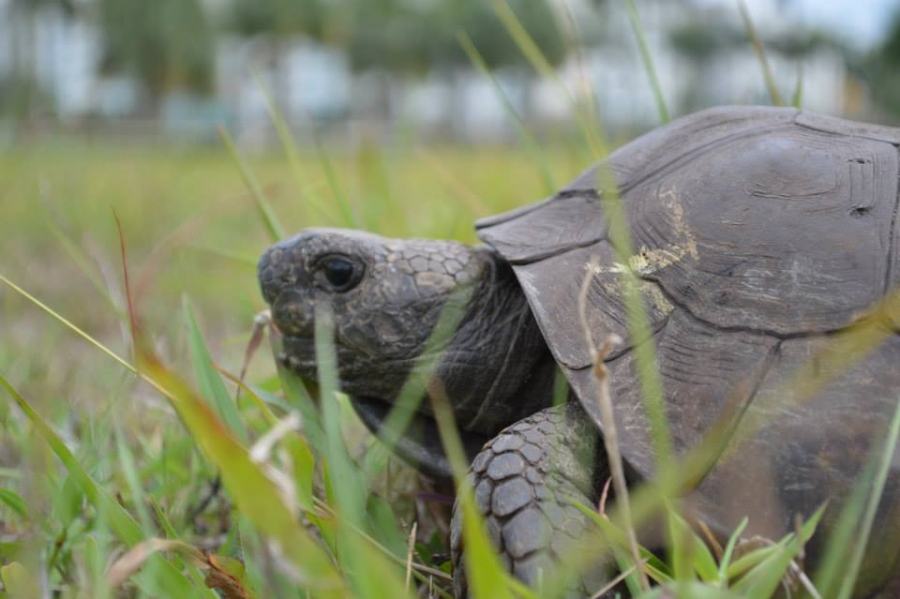 Gopher+Tortoises+provide+shelter+and+resources+for+other+species+at+FAU%27s+nature+preserve+%E2%80%94but+they+are+in+danger.+Photo+courtesy+of+FAU.+