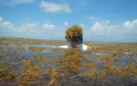 Brian Lapointe, an FAU researcher and professor, swimming in Sargassum. Sargrassum has harmful affects on Florida's marine life -- and Lapointe is trying to spread awareness. Photo courtesy of FAU